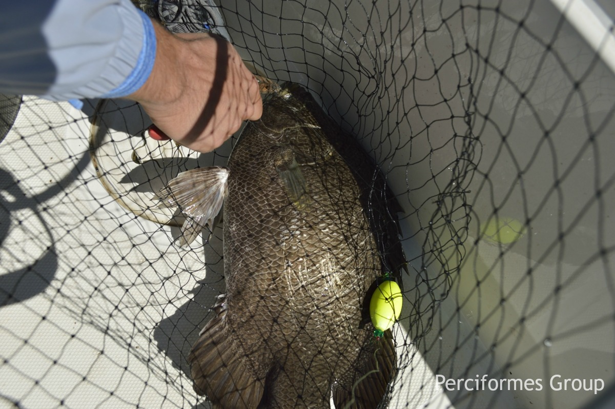 Tripletail: The Fish of the Future